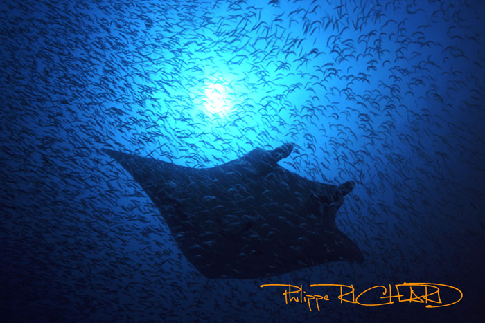 manta in the cloud of cleaner wrasse.jpg